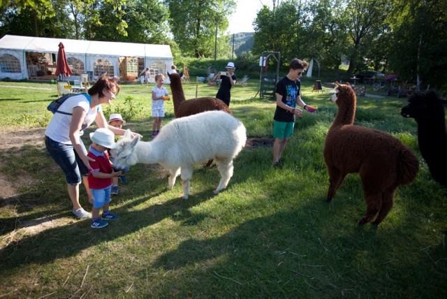 """Alpaki z """"Jaśkowego Sadu"""" w Czchowie cieszą się powodzeniem wśród najmłodszych"""