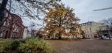 Leszno. Plac Jana Metziga w jesiennej odsłonie. 150-letni dąb Bolek prezentuje się pięknie w złotej oprawie [ZDJĘCIA]