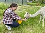 """Wieluń. """"Alpaki Słodziaki"""" zapraszają dzieci i dorosłych. W weekend możecie poznać te zwierzaki[FOTO]"""