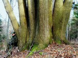 """Niesamowite drzewo rośnie na zboczu góry Przedziwnej w Iwoniczu-Zdroju. Nazwano je """"Hydrą"""". Ta lipa ma 120 lat i 10 pni [ZDJĘCIA]"""