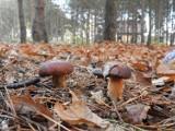 Gostyń. Listopadowe zbiory grzybów naszych czytelników [ZDJĘCIA]