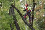 W Ogródku Jordanowskim przy ul. Grodzkiej w Krośnie zaczęło się porządkowanie drzewostanu [ZDJĘCIA, WIDEO]