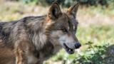 Nadleśnictwo informuje, że wilki pojawiły się w podoleśnickich lasach (FILM)