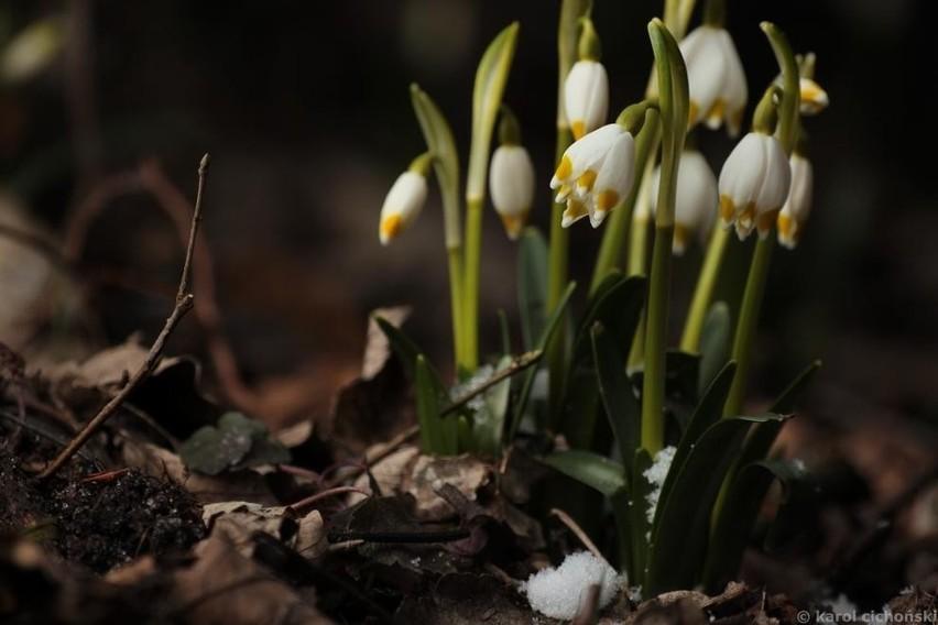 W miniony weekend w Śnieżycowym Jarze można było zobaczyć...