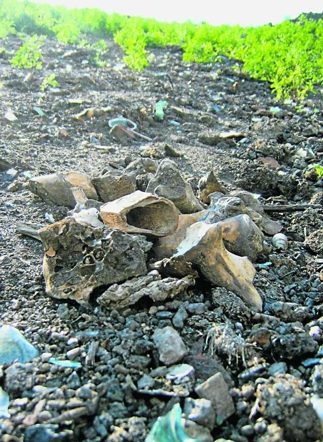 Kości są widoczne na skarpie żwirowni w Wolnym Dworze