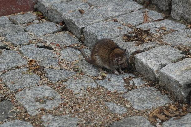 Trutkę na szczury muszą wyłożyć w Poznaniu wszyscy właściciele nieruchomości, administratorzy i  dozorcy