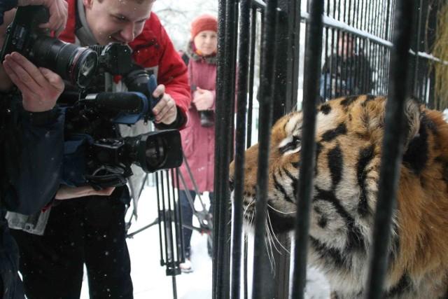 Tygrysem  bengalskim o  imieniu Tarzan  zaopiekowała się Ruda Śląska
