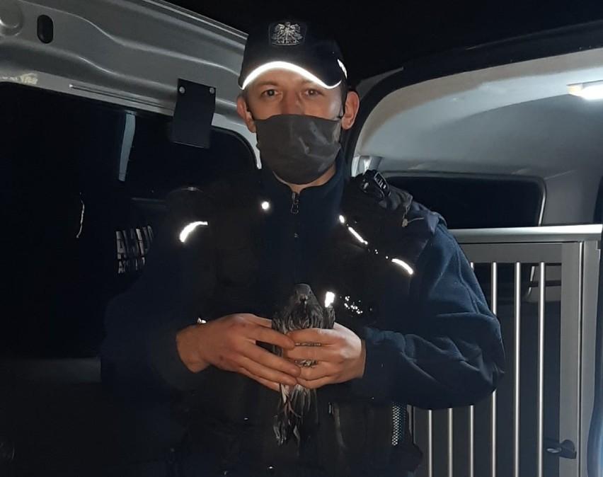 Policja Gniezno. Funkcjonariusze uratowali rannego gołębia