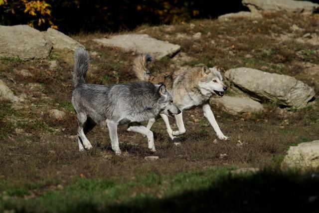W tym tygodniu wilki zaatakowały dwa razy. Rozszarpały dwie jałówki i cielę