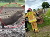 Agresywny bóbr rzucił się na krowy. Do akcji musieli wkroczyć strażacy. Zobacz wideo