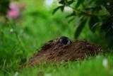 Jesienne szkodniki w ogrodzie – nornice, krety i opuchlaki. Jak się ich pozbyć?