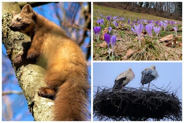 Jedną z oznak nadchodzącej wiosny są oczywiście bociany