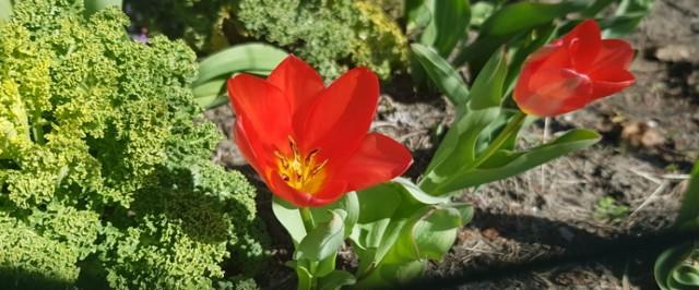 W kwietniu pojawia się coraz więcej wiosennych, kolorowych kwiatów Zobacz kolejne zdjęcia/plansze. Przesuwaj zdjęcia w prawo - naciśnij strzałkę lub przycisk NASTĘPNE