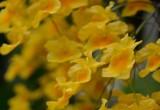Związek z orchidei obiecujący w terapii raka prostaty. Erianina ze storczyka Dendrobium chrysotoxum działa na różne stadia nowotworu