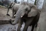 Słonie w warszawskim zoo będą dostawać medyczną marihuanę