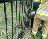 Strażacy z Darłowa ratowali sarnę. Zwierzę utknęło w przęśle ogrodzenia