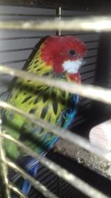 Uratował papugę. Teraz zbiera dla niej na nowy dziób