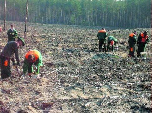Na terenie pożarzyska leśnicy posadzili około 150 tysięcy nowych drzewek