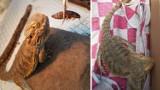 Jaszczurka znaleziona na szczecińskim placu zabaw czeka na właściciela w TOZ-ie!