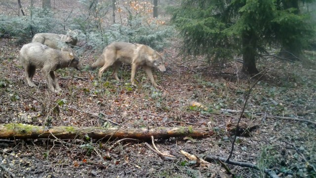 W Tyliczu fotopułapka zarejestrowała watahę wilków a przez krynickie lasy wędrował niedźwiedź