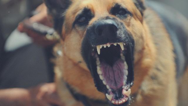 Chcesz kupić psa? Niestety nie każdego możesz tak po prostu wziąć z hodowli. Zgodnie z polskim prawem, decydując się na posiadanie psa lub prowadzenie hodowli niektórych ras, potrzebujesz specjalnego zezwolenia. Wszystko dlatego, że rasy te są uznawane za agresywne i prawodawca nie chce, by trafiały one w niepowołane ręce.  Co prawda o agresji psa nie decyduje jedynie rasa, ale szereg innych czynników, w tym przede wszystkim nieprawidłowe metody szkolenia. Niemniej jednak pewne rasy są uznawane za bardziej niebezpieczne od innych. W Polsce za takie uznano 11 ras. Jakich? Zobacz w galerii!