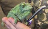 Kameleon z mieczem. Nie widziałeś w życiu nic lepszego! [GALERIA]