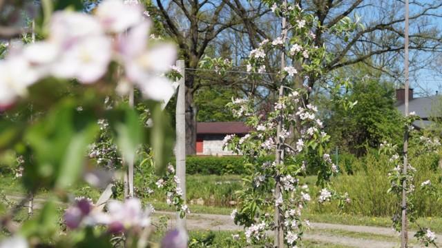 Szkody spowodowane mrozami objawiają się m.in. uszkodzonymi pąkami, a później także gorszą jakością jabłek. To właśnie na samym początku wiosny, jabłonie są najbardziej narażone na uszkodzenia mrozowe z powodu rozpoczęcia okresu wegetacyjnego. Skutkiem takich przymrozków są mniej jędrne owoce o liczniejszych wadach.