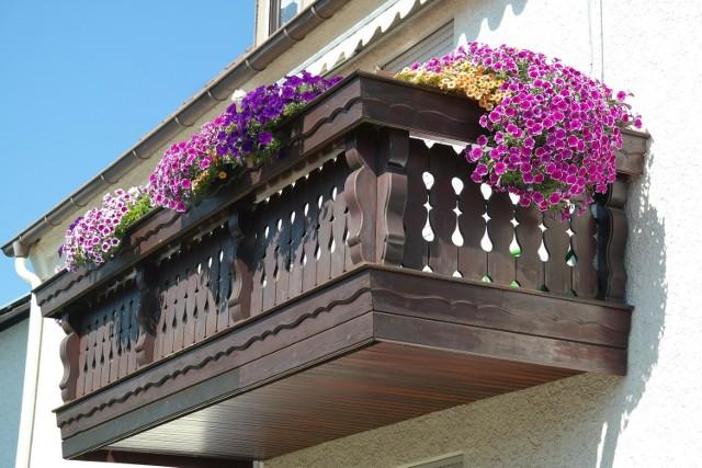 SURFINIA Inaczej petunia zwisająca. Surfinia nadaję się na słoneczny balkon. Do wyboru mamy mnóstwo odmian o różnych kolorach kwiatów. Charakteryzuje się lepkimi kwiatami w kształcie kielichów.  Surfinie potrzebują gleby bardzo żyznej, próchniczej, przepuszczalnej, najlepiej piaszczysto gliniastej. Kwiat ten wymaga czasem codziennego podlewania, a latem w czasie upałów nawet powinno się ją podlewać dwa razy dziennie.  Surfinie najlepiej umieścić w doniczkach z otworami, przez które swobodnie będzie mógł odpływać nadmiar wody. Kwiaty te potrzebują dużo światła.
