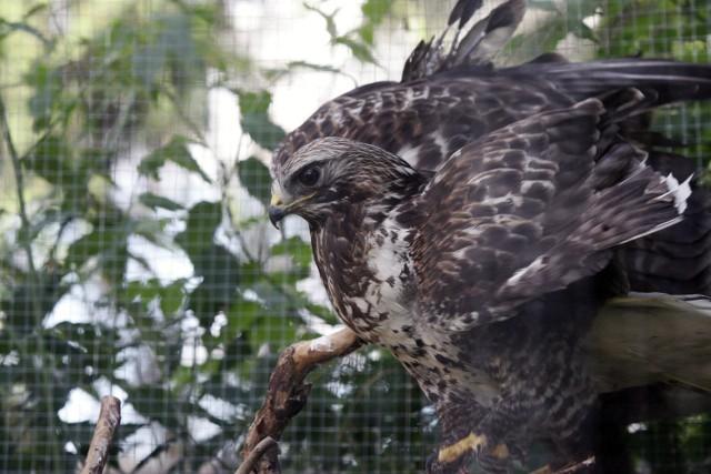 Pustułka to gatunek średniej wielkości ptaka drapieżnego z rodziny sokołowatych