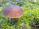 Wysyp grzybów na Dolnym Śląsku [LOKALIZACJE, LISTA]