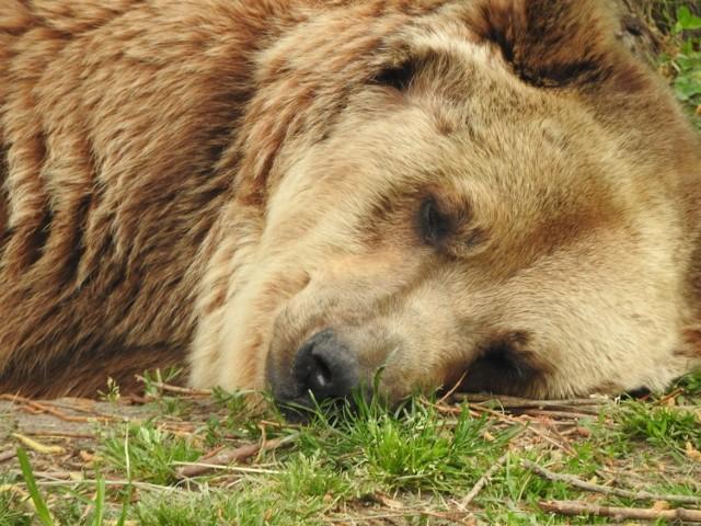 Akcent ZOO. Niedźwiedzica Jola nie żyje