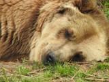 Nie żyje niedźwiedzica z Akcentu ZOO