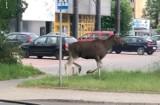 W Tarnowie i regionie bobry, lisy czy dziki to już stali bywalcy. Kwestią czasu jest wizyta... żubra