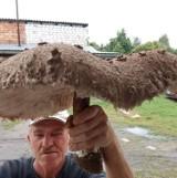 Gigantyczna kania znaleziona w lasach Bornego Sulinowa. Gratulacje dla znalazcy! [zdjęcia]