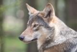 Martwy wilk znaleziony przy drodze w okolicy Ośna Lubuskiego. Przyrodnicy powiadomili policję. Ktoś zastrzelił chronione zwierzę?