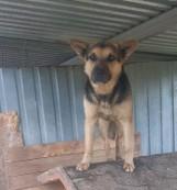Kolejny pies przywiązany łańcuchem do drzewa. Zwierzę znalezione w Łazisku trafiło do schroniska w Tomaszowie