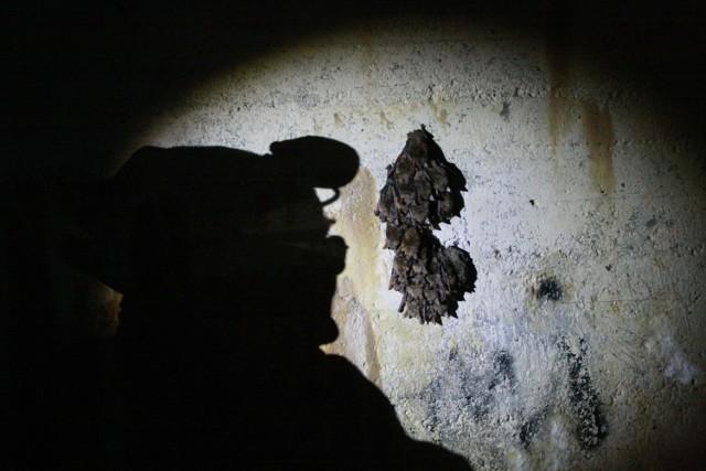 Podziemia międzyrzeckich bunkrów jedną z największych w Europie zimowych sypialni nietoperzy. W sobotę, 12 stycznia, odbędzie się w nich doroczne liczenie skrzydlatych ssaków. W akcji weźmie udział 70 naukowców z 14 państw. Po raz pierwszy także spoza Unii Europejskiej, m.in. z Turcji oraz Bośni i Hercegowiny.