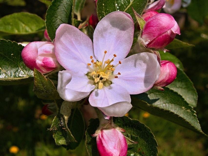W donicach można także uprawiać drzewka owocowe. Wiosną...