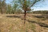 Nadleśnictwo Strzebielino. Trwają prace nad odnawianiem lasu zasiewami