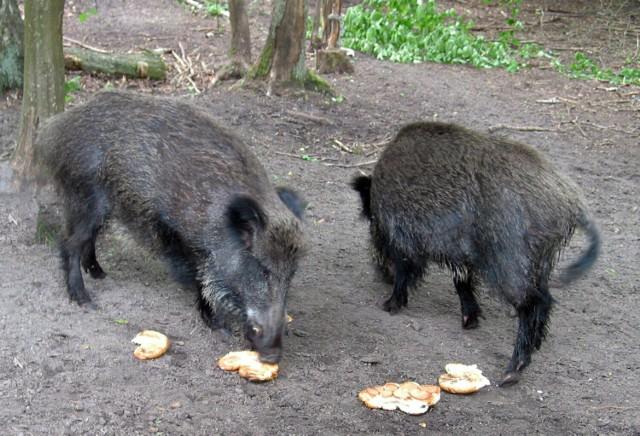 Pozostawiając resztki jedzenia w śmietnikach czy na posesjach sami zapraszamy dziki