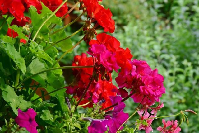 Nie wszystkie rośliny poradzą sobie na słonecznym balkonie równie dobrze, dlatego już na początku sezonu warto się zastanowić, jakie gatunki najlepiej wybrać, aby cieszyć się pięknymi roślinami balkonowymi przez całe lato, a nawet jesień. Zobacz, które kwiaty będą pięknie kwitły na słonecznym balkonie.