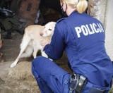 Skrajnie wychudzony pies w Bytowie. Uratowała go dzielnicowa. Pies został odebrany właścicielce