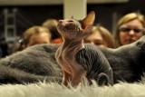 Dziwne i piękne koty przyjadą do Częstochowy [zdjęcia]