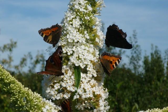 Jeśli motyle przylatują do naszego ogrodu, to znaczy, że panują w nim ekologiczne warunki. Warto je dodatkowo zachęcić, sadząc odpowiednie rośliny.