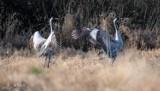Przyleciały żurawie. W Poleskim Parku Narodowym czuć już wiosnę. Zobacz zdjęcia