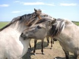 Konie w Świnoujściu zdychały, ale sąd uznał, że niesłusznie odebrano je właścicielom