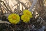 Pierwsze oznaki wiosny: w Stobnie kwitną podbiały. Szukamy kolejnych oznak wiosny