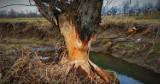 W Nowym Żmigrodzie grasują bobry. Niszczą drzewa, zobaczcie sami [ZDJĘCIA]