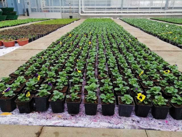W szklarniach Rejonowego Przedsiębiorstwa Zieleni i Usług Komunalnych już w ubiegłym roku rozpoczęto produkcję wiosennych kwiatów, bratków i stokrotek.