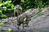 Wilki pod Poznaniem zagryzły dwa psy? Mieszkańcy się boją